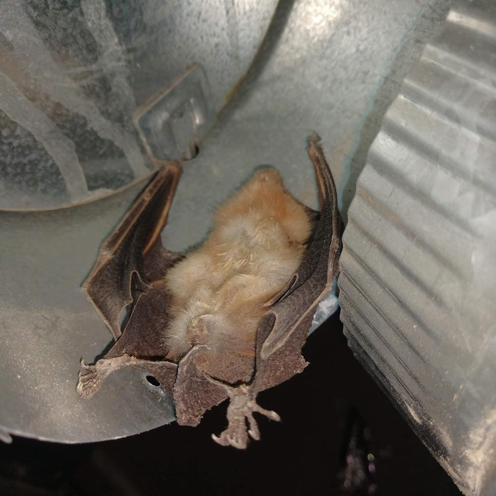 Residential Rodents Dead Bat